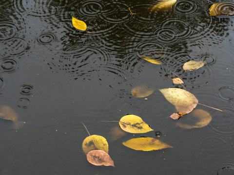 floating yellow leaves in dirty puddle in rain