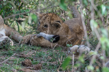 Lion cub (Panthera leo) chewing on adult lin tail taken in the Maasai Mara Reserve, Kenya