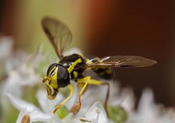 Xanthogramma pedissequum hoverfly