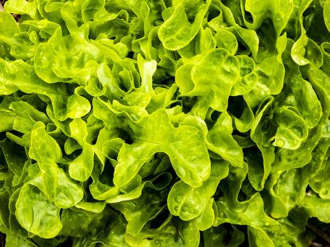 fresh green lettuce in the garden