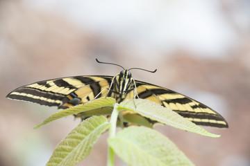 Mariposa corola Multicaudata xochiquetzal Papilio multicaudata sobre fondo verde sobre flores y hojas