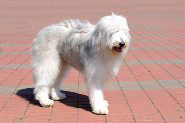 South Russian Sheepdog right side. The South Russian Sheepdog is in the park.
