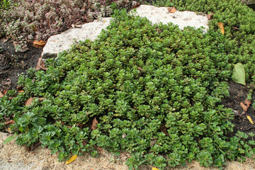 Cool Green Ground cover
