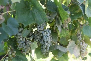 Green grapes on vine Fototapete