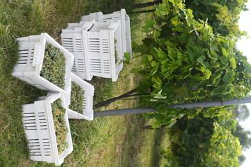 Green grape harvest