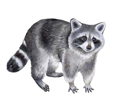 Raccoon isolated on white background. Watercolor. Illustration. Template. Hand drawing. Clipart. Close-up.