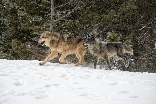 Two Wolves in Winter Forest