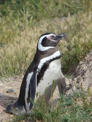 Penguin in El Calafate - Patagonia Argentina