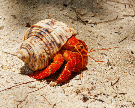 Close-up of a brightly red colored hermit crab (Coenobitidae) carrying a snail shell for protection on the beach - Location: Seychelles