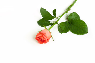 One Orange rose flower on white isolated background