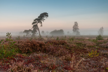 A solitary curved pine tree in a misty landscape early morning heather moorland field