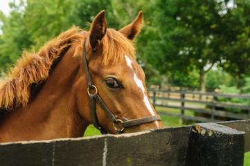 Throroughbred horse