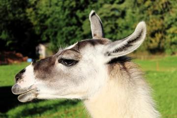 Kopf eines Lamas auf der Weide, Allgäu