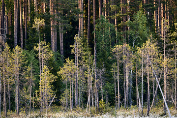 Finnish taiga photographed with sunrise light.