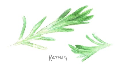 watercolor isolated illustration of a branch of rosemary; drawing drawn by hand, spices on a white background