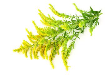 Solidago (Goldenrod) Medicinal Herb Plant. Isolated on White Background.
