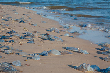 Sea shore of the ocean, the sea covered with jellyfish, jellyfish cast ashore on the ocean summer