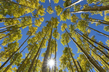 Looking Up Through Golden Aspen Trees