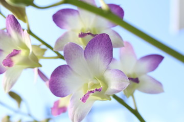 Purple Orchid Background