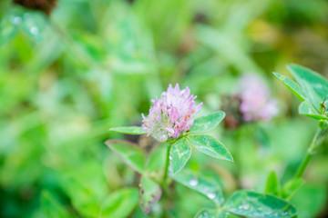 Blooming clover (Trifolium pratense) in the garden. Selective focus.