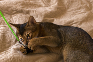 The Abyssinian and red cat close up