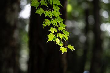 新緑の紅葉のアップ