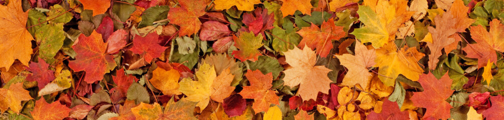 Colorful seasonal autumn background pattern, Vibrant carpet of fallen forest leaves. Fotoväggar