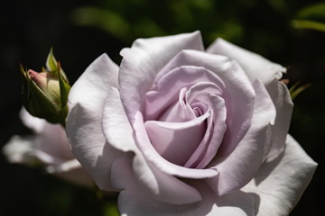 A light purple rose flower in the garden