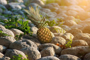 Pineapple tropical fruit standing on stone with sunlight.