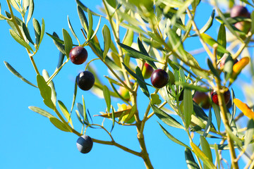 Olive tree on blue sky background