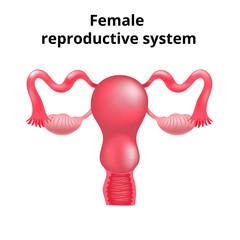 Illustration of female reproductive system. Human anatomy