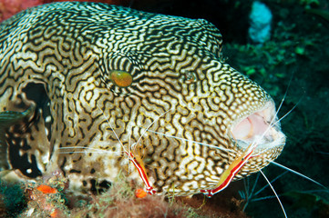 Map pufferfish, Arothron mappa, in a cleaning station, Bali Indonesia.