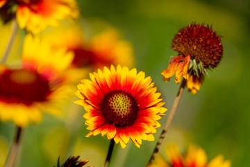 the diagonal of gaylardiya flower growing outdoor perennials orange and yellow colors, the background blurred other flowers