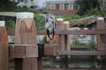 Heron standing on a mooring post searching for fish in the canal Hollandsche IJssel at Gouda in the Netherlands