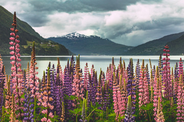 mountain landscape and pink lupine