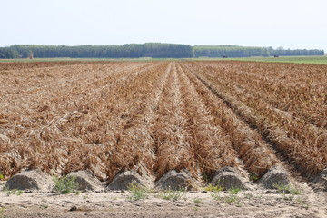 Brown dried fields caused by the dryness of the summer of 2018 in the Netherlands.