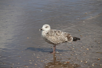 seagull in the harbor district of Rotterdam in the Netherlands which are giving annoyance