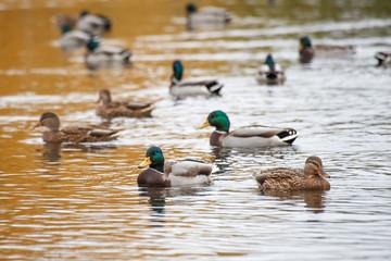 ducks swim in the lake in the Park in autumn / autumn landscape