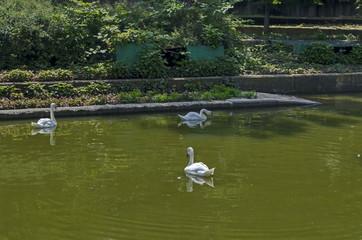 Foto op Plexiglas Zwaan Beautiful white swan swimming on a lake, Sofia, Bulgaria, Europe