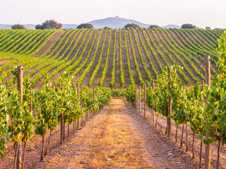 Vines in a vineyard in Alentejo region, Portugal, at sunset