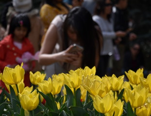 Yellow tulips in flowerbed. Girl taking a photo of tulips in the background. Focus on the flowers.