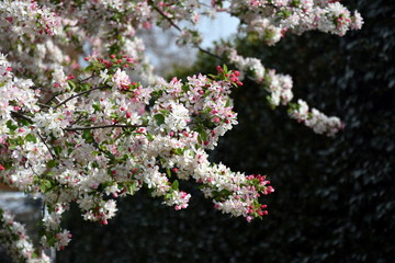 Pink white cherry blossom in full bloom. Cherry flowers in small clusters on a cherry tree branch. Sakura Japanese cherry blossoms in the botanic garden.