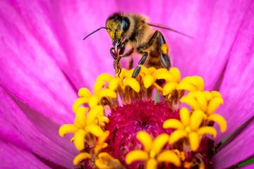 Honeybee or Bee on flower doing polliniation