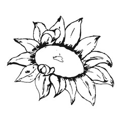 Hand drawn sunflower. Vector illustration.
