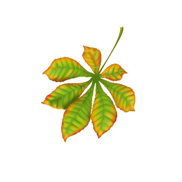 Autumn fall realistic leaf chestnut on white background