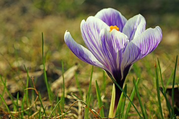 spring flower of Purple crocus, view from above