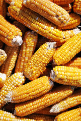 Yellow ripe corn, close up organic texture background, top view