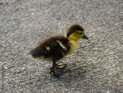 patitos stock photo and royalty free images on fotolia com pic