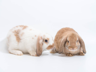 Two baby Holland Lop rabbit on white ground