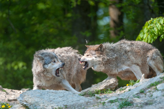 Two gray wolves snarling aggressive